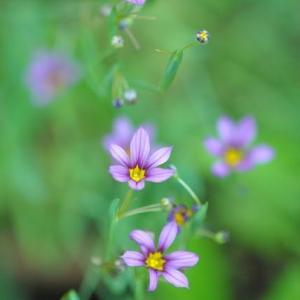 庭の花 ニワゼキショウが咲き出す  2-87