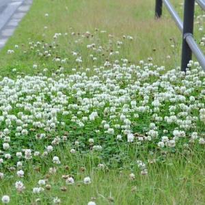 朝の散歩で会った シロツメクサの可愛い花  35