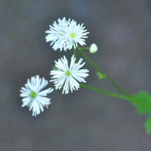 庭の花 カラマツ草が咲き出す  2-89