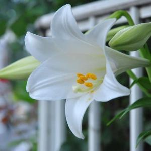 庭の花 テッポウユリが咲き出した  2-91