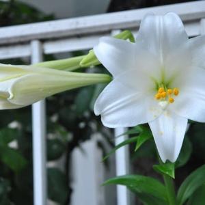 庭の花 塀から顔を出すテッポウユリ  2-92