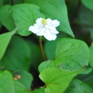 庭の花 咲き出した八重のドクダミに水滴  2-93
