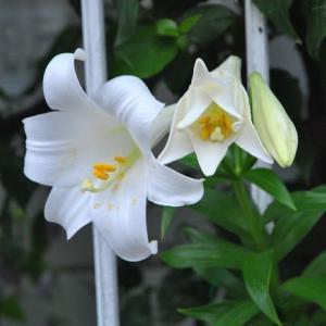 庭の花 たくさんのテッポウユリが咲き出した  2-94