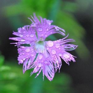 庭の花 ナデシコの花 3-3