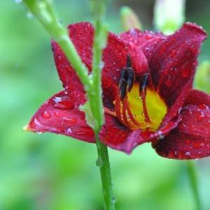 庭の花 ヘメロカリスの花が咲きだす 3-7
