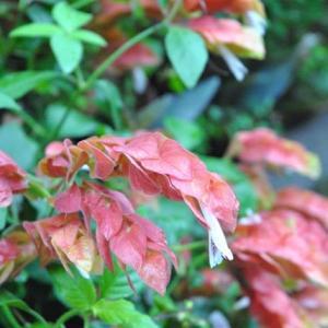 朝の散歩で会った コエビソウの面白い形の花 64