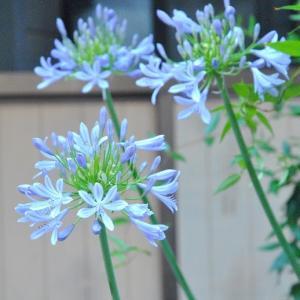 朝の散歩で会った アガパンサスの花が咲きだす 66