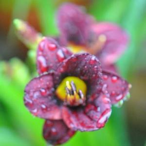 庭の花 雨降る時のヘメロカリスが水滴をもつ 3-14