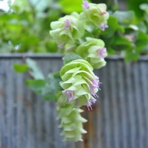 朝の散歩で咲く緑色のオレガノケントビューティの花 93