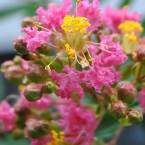 朝の散歩で会った 夏の花サルスベリ 99