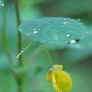 庭の花 雨の中のツリフネソウの姿 3-34