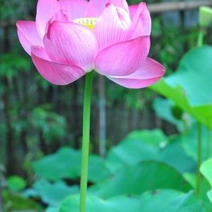 朝の散歩 西光院に再度蓮の花を見に行く  2-20