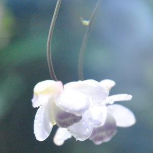 庭の花 雨の日のレンゲショウマにしずくが輝く 3-44