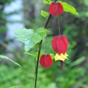 朝の散歩で会ったアブチロンの花が長く咲いています  2-25
