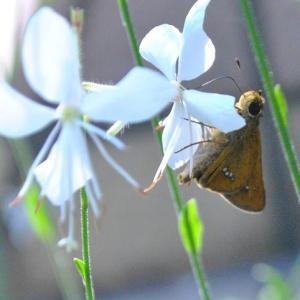 朝の散歩で谷端川の緑地のガウラの花にセセリチョウ 2-96