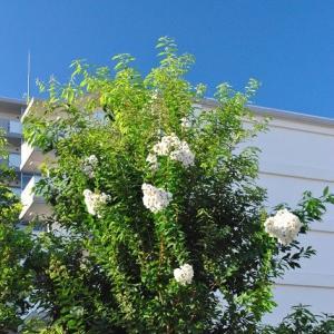 朝の散歩で白い綺麗なサルスベリに会う 3-5