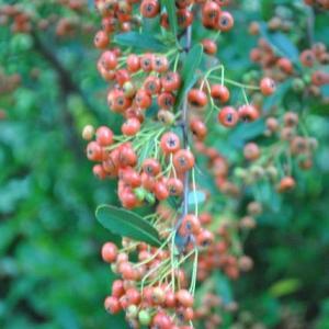 朝の散歩でキンモクセイの甘い香り  3-73