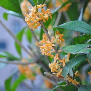 朝の散歩で白色キンモクセイとオレンジ色のキンモクセイ  3-78