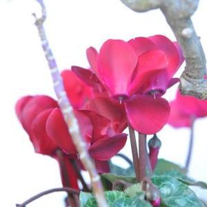家の庭で咲く パンジーの花   1