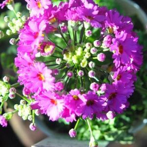 家の庭で咲く ビオラの花たち   2