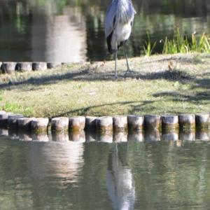 肥後細川庭園 池に映るもみじは素晴らしいです 6