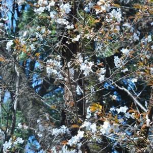 小石川植物園 つばきが散った美しさ   13