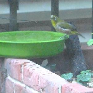 家の庭先 メジロが水浴びをする姿  60