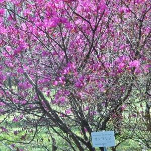 小石川植物園 つつじも満開に   14