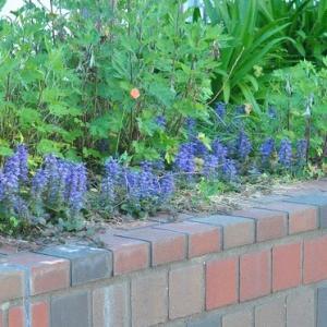 人ごみをさけて散歩 谷端川緑地のアジュガの花    8