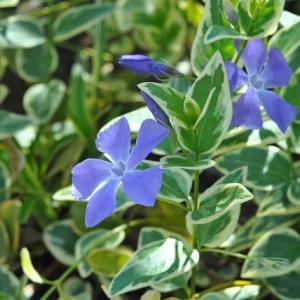 人ごみをさけて散歩 谷端川緑地のツルニチニチソウの花    9