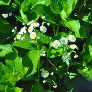人ごみをさけて散歩 谷端川緑地 ハナミズキの花   10
