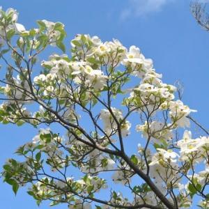 人ごみをさけて散歩 谷端川緑地 スズランの花が咲きだす    11