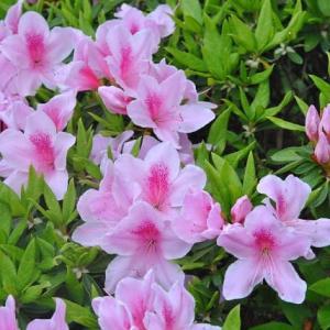 散歩道の花たち つつじが咲きだす   2