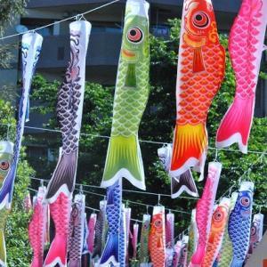 朝の散歩 熊野神社境内一面の鯉のぼり  7
