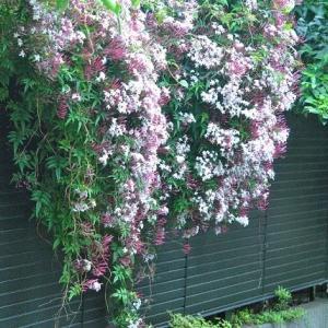 散歩道の花たち クンシランの花が咲いています   5