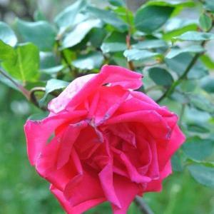 散歩道   長崎公園白色のバラ他色々のバラが咲いています   4