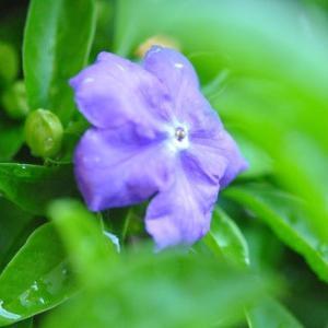 庭の花 ニオイバンマツリの甘い香りの花が咲きだす  6