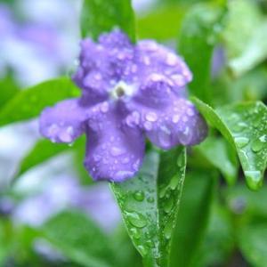 庭の花 ニオイバンマツリの花たち  12