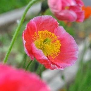 散歩道   千早フラワー公園ポピーの綺麗な花   10