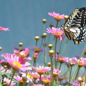 散歩道の花たち アゲハチョウが飛んできています  23
