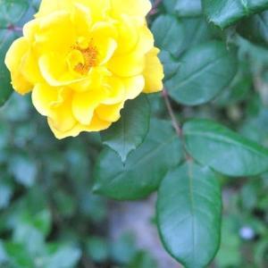 庭の花  バラが咲いた  15