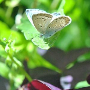 散歩道の花たち シジミチョウが飛んできました  24