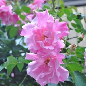 散歩道   千早フラワー公園シランの花   12