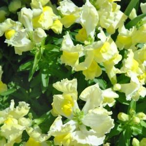 散歩道の花たち ベニバラシャリンバイの花  26