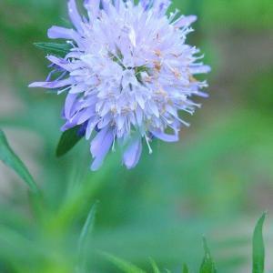 庭の花  ニオイバンマツリが満開に咲く  18