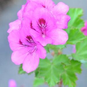 散歩道の花たち ホタルブクロが咲いています  29