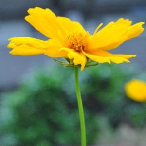 散歩道   谷端川緑地に黄色のコスモス 16
