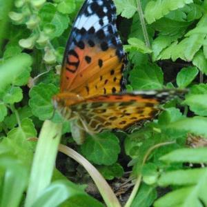 庭の花  ツマグロヒョウモンの飛来  22