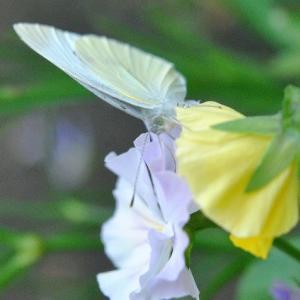 庭の花  モンシロチョウが蜜を求めて   35