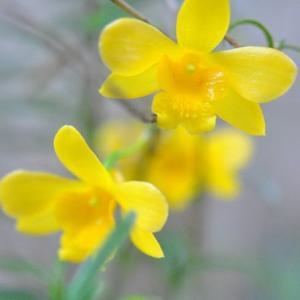雨降る庭の花  ビオラに水滴きれい     36